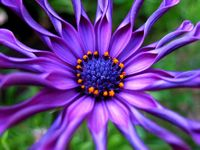African daisy by caz via flickr