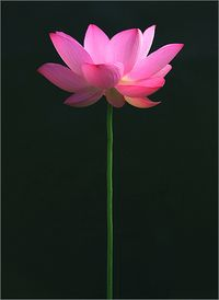 Pink lotus flower by Bahman Farzad's photostream via Flickr