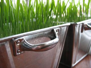 Wheat grass in planter
