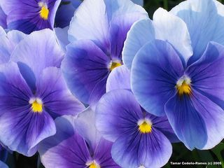 Blue blue pansies by ArtLight