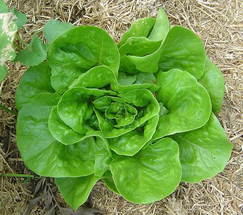 Lettuce from RaeA's photostream on flickr